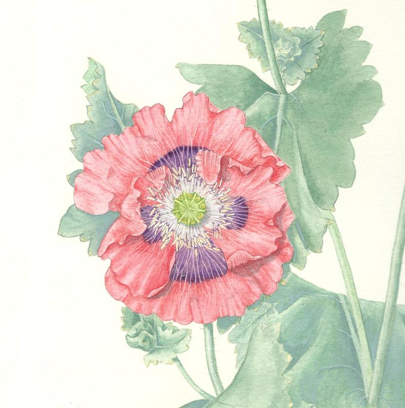 """Extract from framed watercolour botanical illustration, 27""""h x 18""""w,  £340"""
