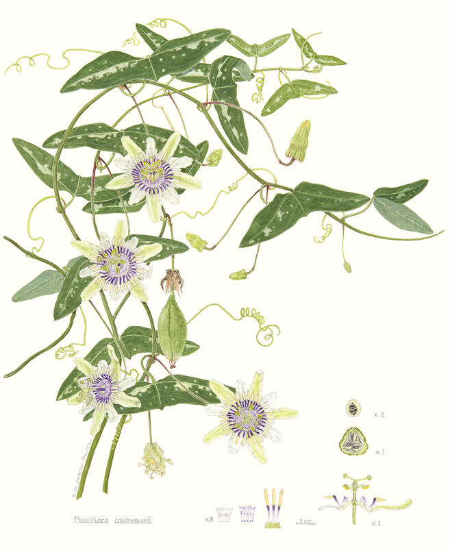 """Mounted giclee print of rare passionflower, from watercolour. 18""""h x 14"""" w. £42"""