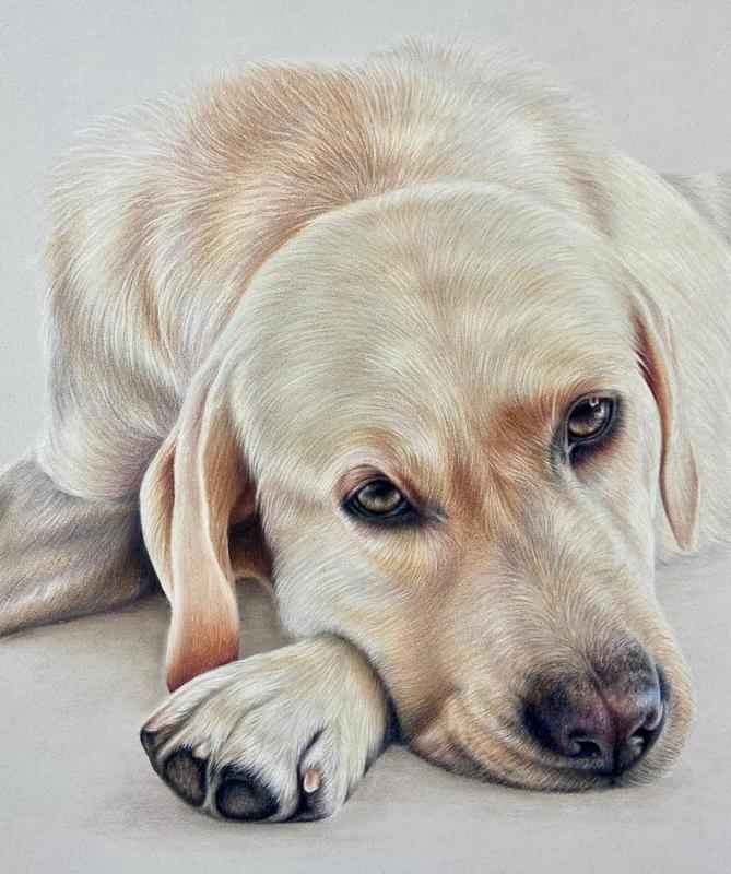Rex - A4 colour pencil portrait