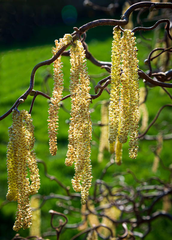 Spring is here. Catkins in the morning sun