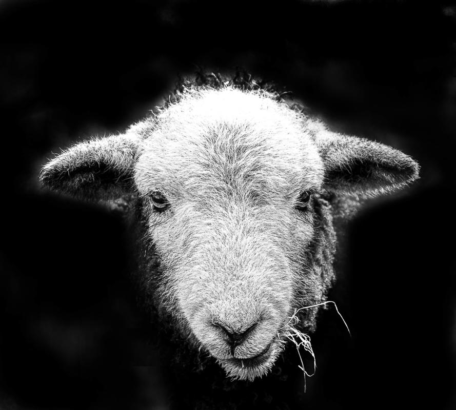 Black and white portrait of a Herdwick sheep