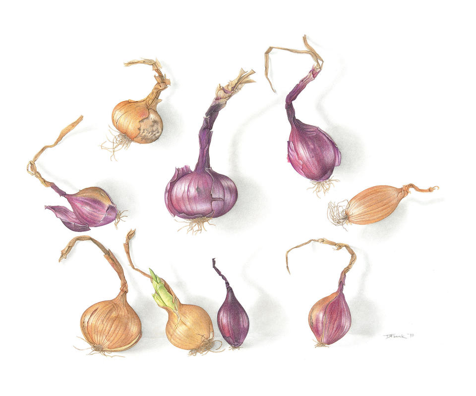 eight onions, one shallot