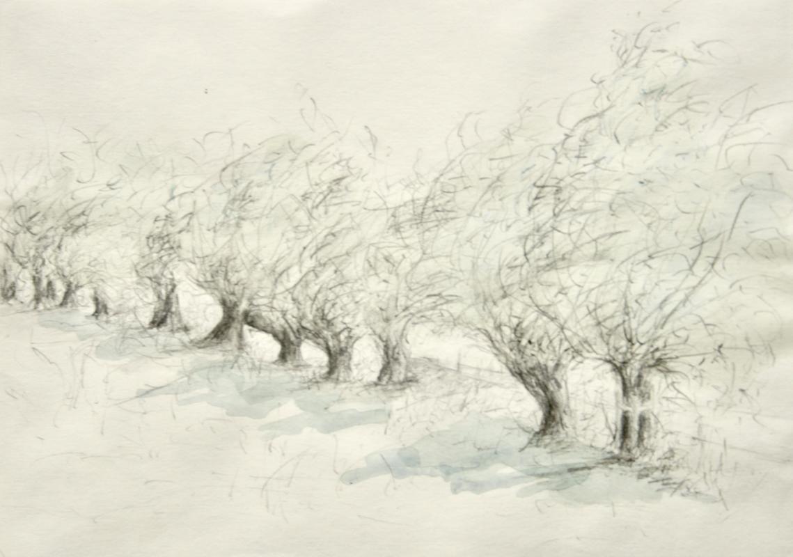 Crack willows, Salix fragilis, Port Meadow