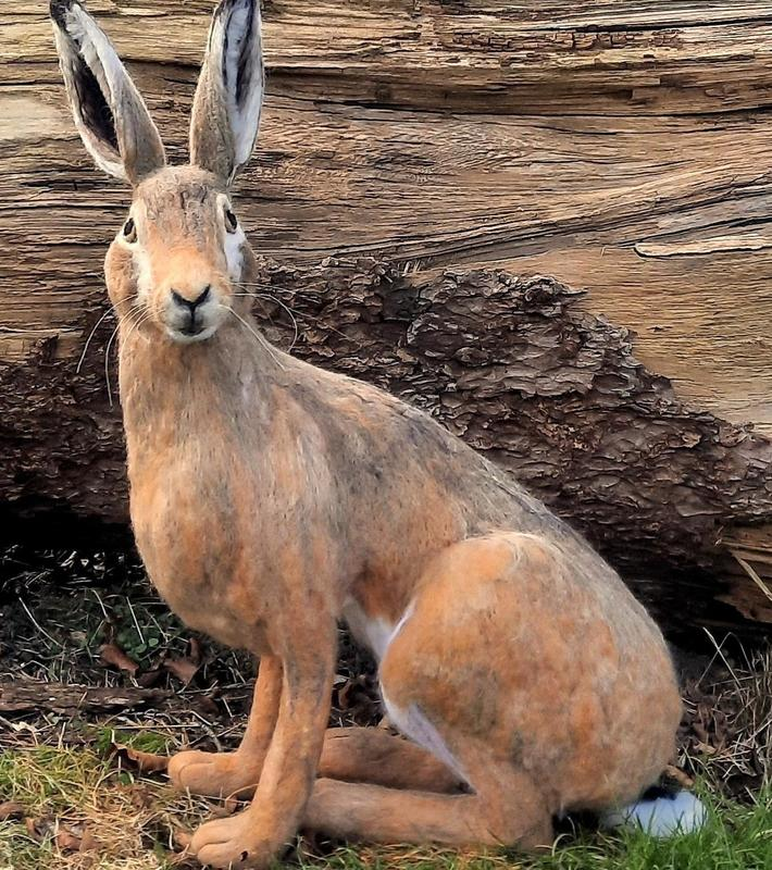 Needle Felted life size Brown Hare Wool Sculpture. Height 64cm. £275