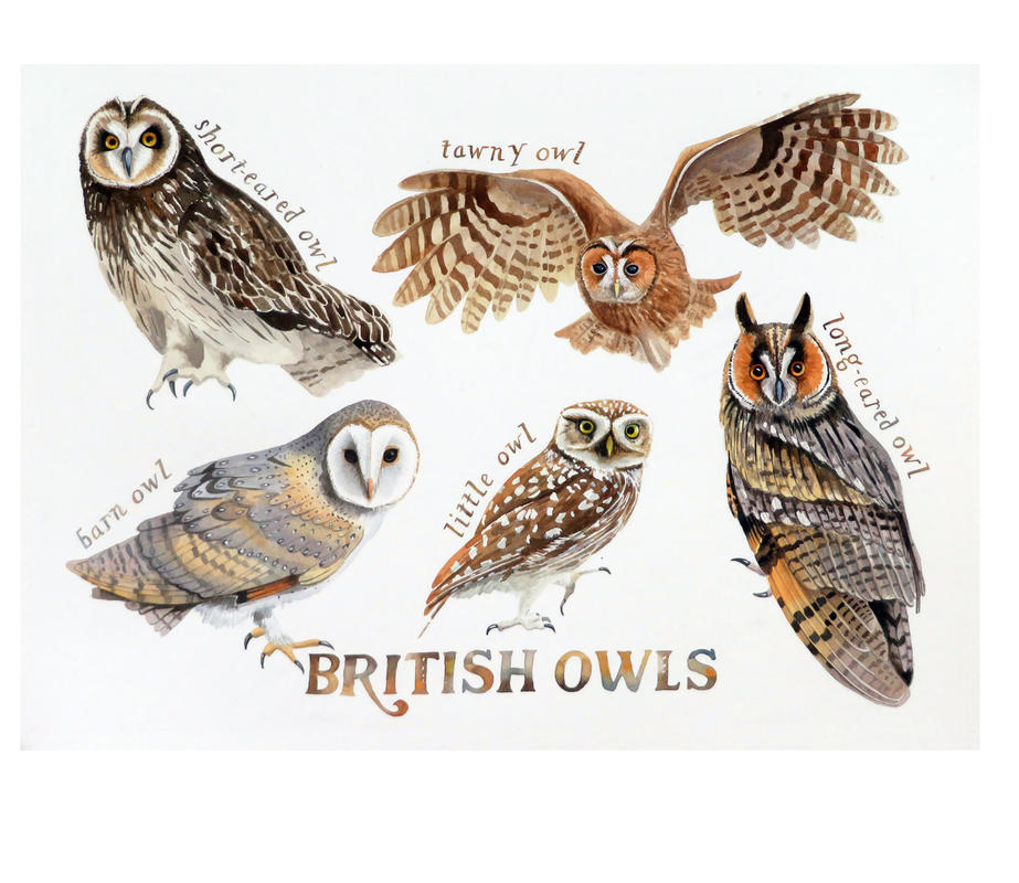 British Owls by Jane Tomlinson - watercolour - size 540mm x 400mm - original £475, prints £36