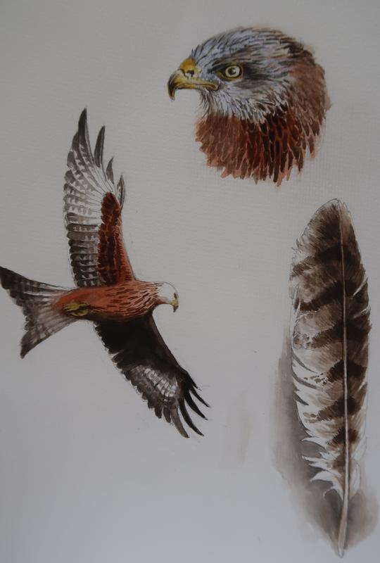 Water Colour  study of Red Kites.