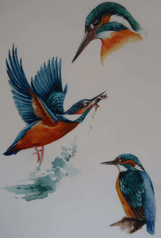 Water Colour study of Kingfishers.