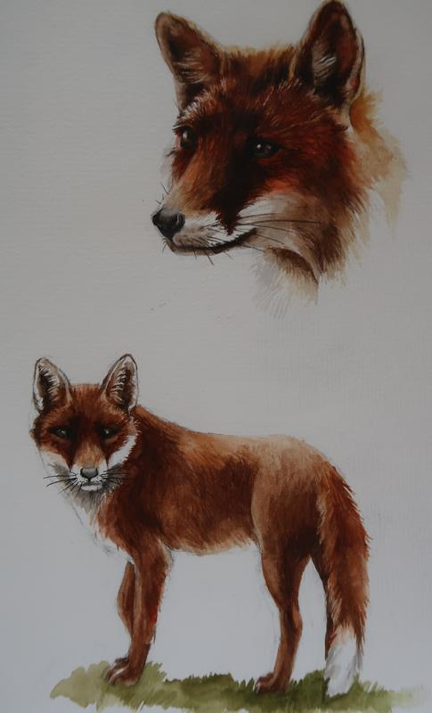 Water Colour study of Fox.