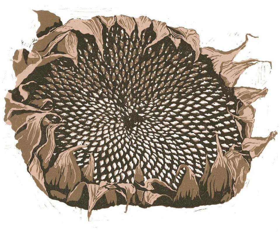 Sunflower Seed Head. A linocut. Image showing the fibonacci sequence in the arrangement of seeds