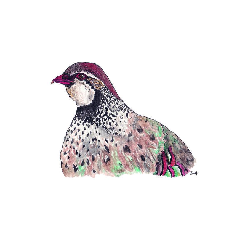 Pen & Ink Partridge Illustration - 21cm x 30cm - £32.50 (unframed) or £40 (framed)