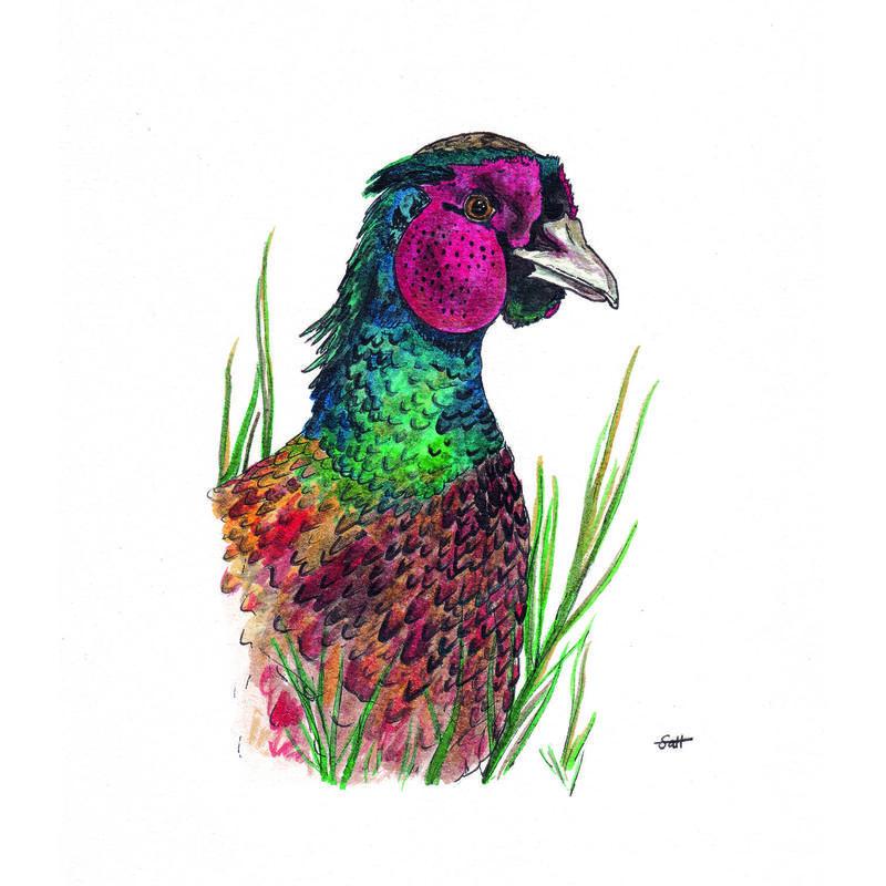 Pen & Ink Pheasant Illustration - 21cm x 30cm - £32.50 (unframed) or £40 (framed)