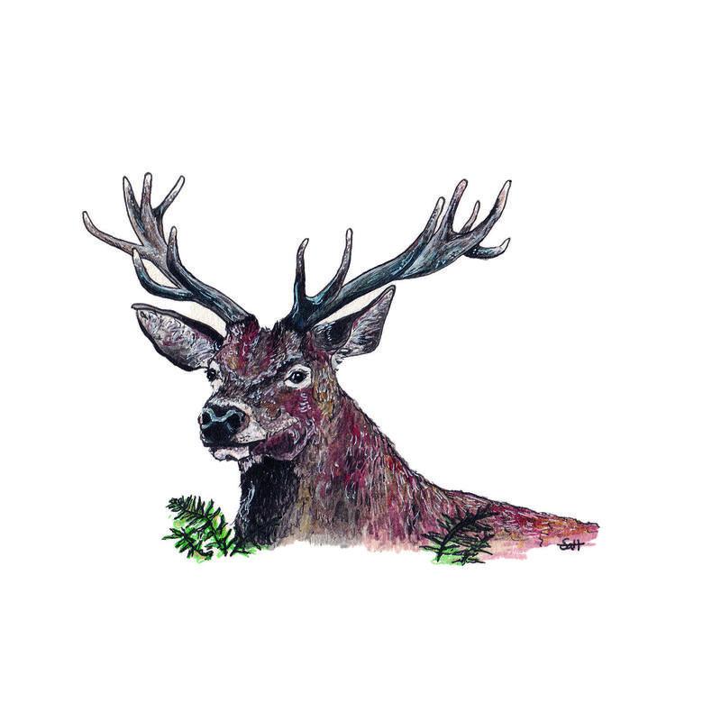 Pen & Ink Red Deer Illustration - 21cm x 30cm - £32.50 (unframed) or £40 (framed)