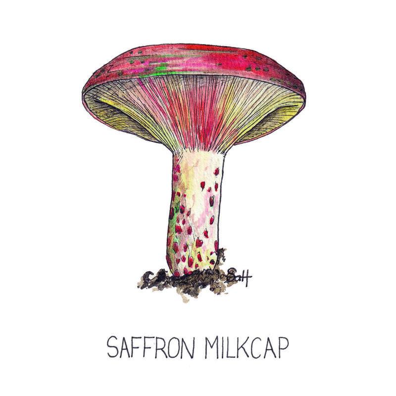Pen & Ink Saffron Milkcap Illustration - 13cm x 18cm - £25 (unframed) - £32.50 (framed)