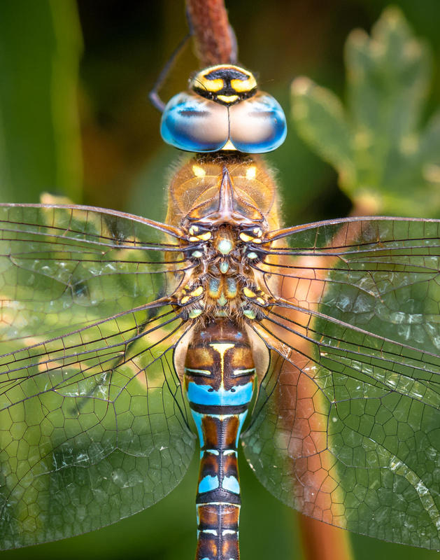 A detailed study of one of the most beautiful insects, the dragonfly