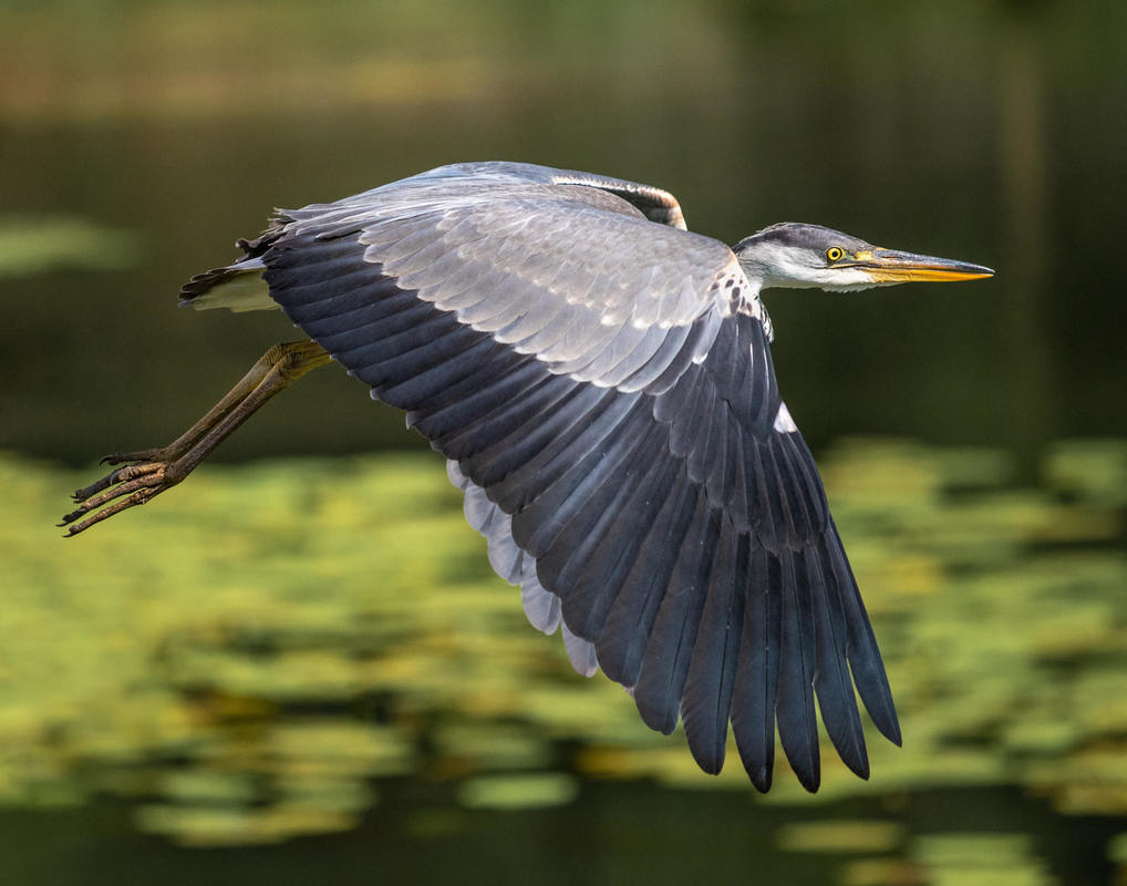 Natural history. A Heron in flight over a lake's lily pads