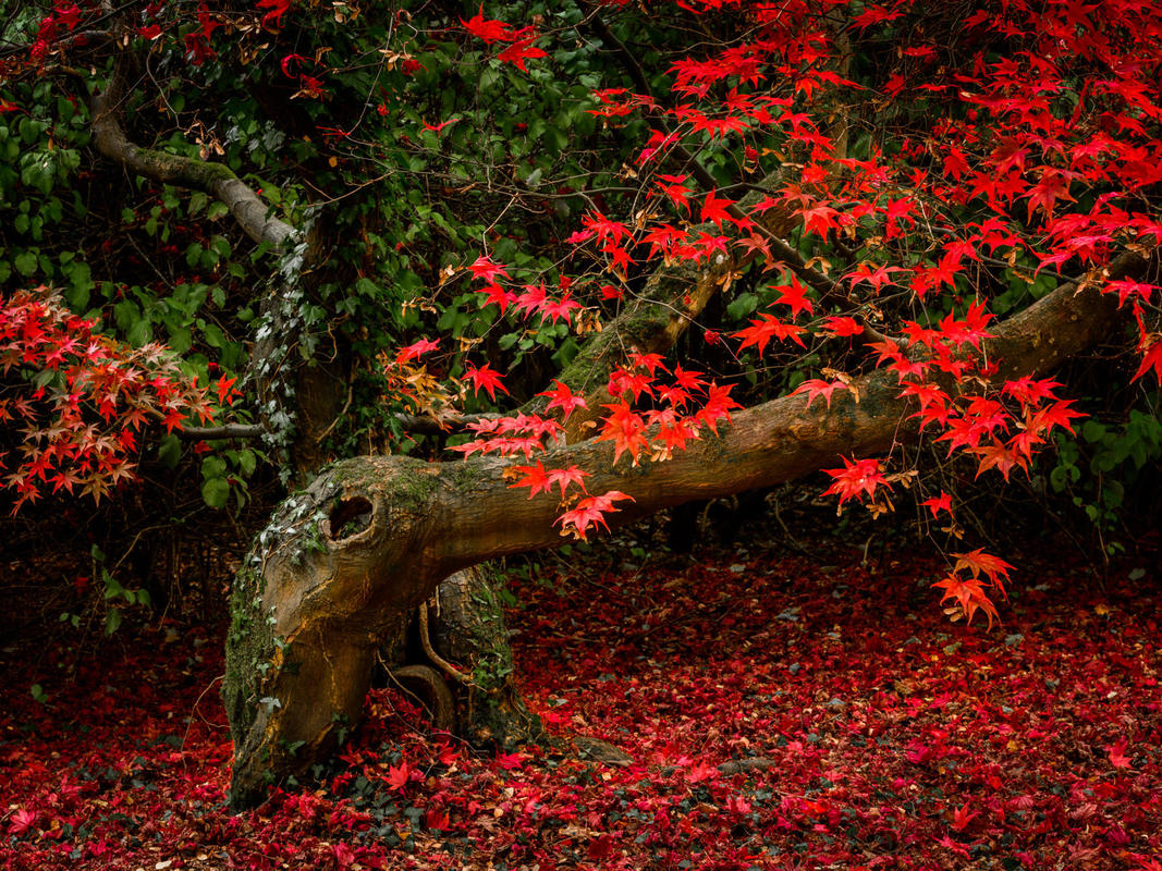 The leaves of a lop sided Japanese Maple show their autumn red