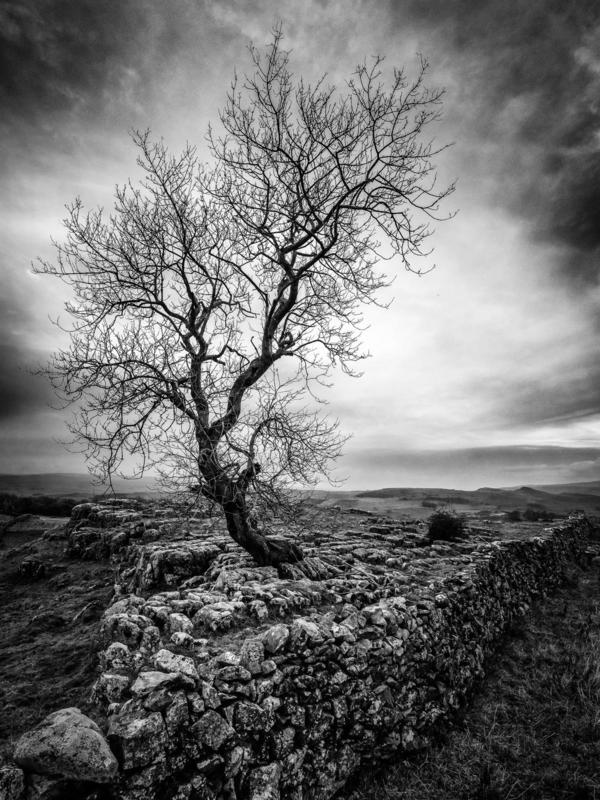 Monochrome  image of a walled in tree in Yorkshire