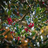 Just missing the ivy now - holly berries glistening