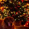 Christmas tree with Holly (my dog)