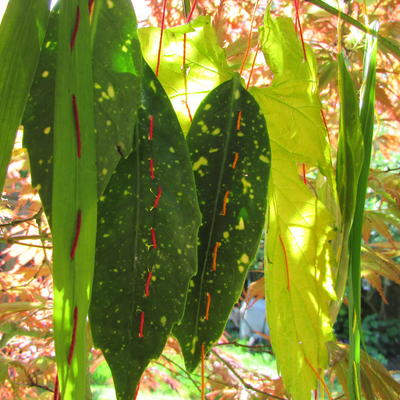 Stitched leaves in dappled sunshine