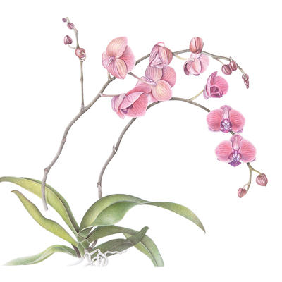 moth orchid, most common of all orchids in homes