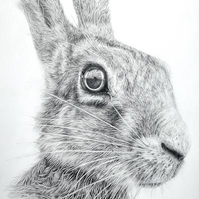 Spring: Hare II, graphite illustration