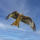 Red Kite. Now here in more numbers thanks to the breeding scheme in Buckinghamshire